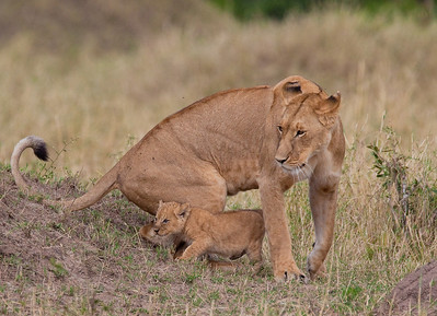 Lioness with cub, Masa Mara, Kenya