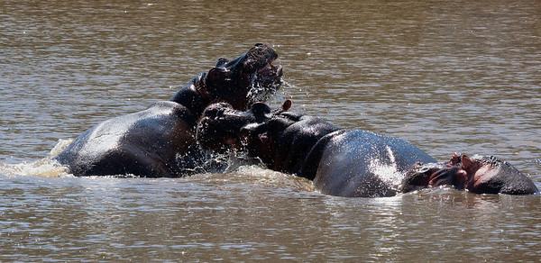 Hippos in Masai Mara