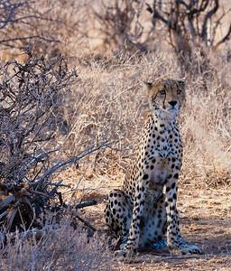 Cheetah at Sweetwaters. Kenya