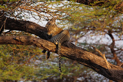Leopard at Samburu -- Leopard is the most elusive of cats. This was taken with a 500mm lens with a 1.4x extender on the Canon 40D, an equivalent focal length of 1120mm! It was like taking it with a telescope. I waited and waited for the cat to turn its head. After quite a while, it looked straight at us for a couple of seconds and with perfect lighting, and I pushed the shutter to have that moment frozen. I would love to wait for it to come down the tree. Unfortunately, the reserve closes at 6:30pm and we all had to leave, though we were the last to go.