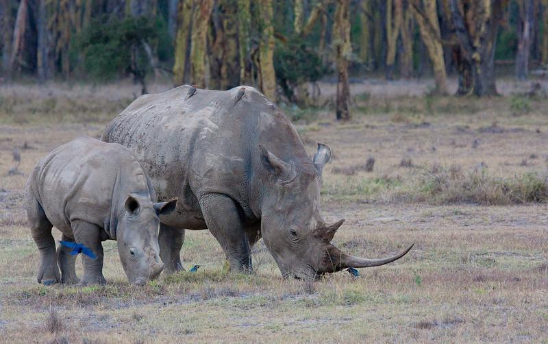 White Rhino, Lake Nakuru