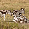 Zebra taking a mud bath