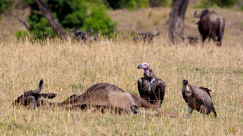 White-headed Vultures