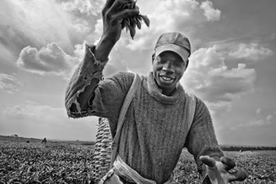 Picking tea, Nandi Hills, western Kenya