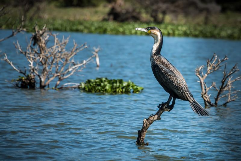 Africian Darter, Lake Naivasha, Kenya