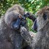 Baboon, Lake Nakuru