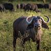 Africian Buffalo