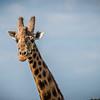 Lake Naluru: Rothchildes Giraffe