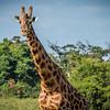 Masai Giraffe, Lake Naluru.