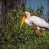 Yellow-billed Stork, Lake Naivasha, Kenya