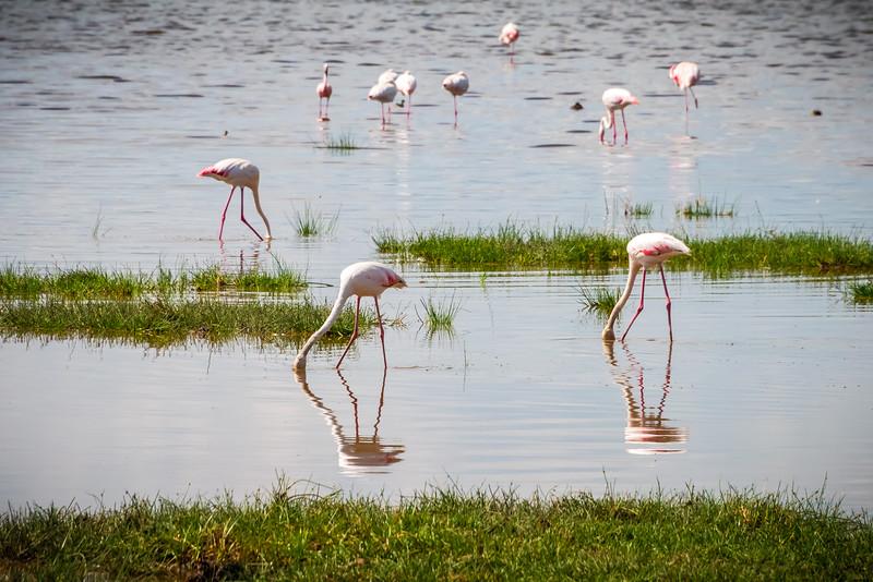 Flamingo's. Lake Nakuru
