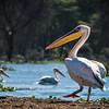 Pelican, Lake Naivasha, Kenya