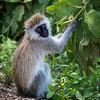 Vervet Monkey, Lake Naivasha, Kenya