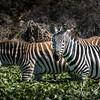 Zebra, Lake Naivasha