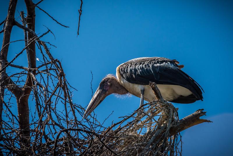 Marabou Stork, Lake Naivasha, Kenya