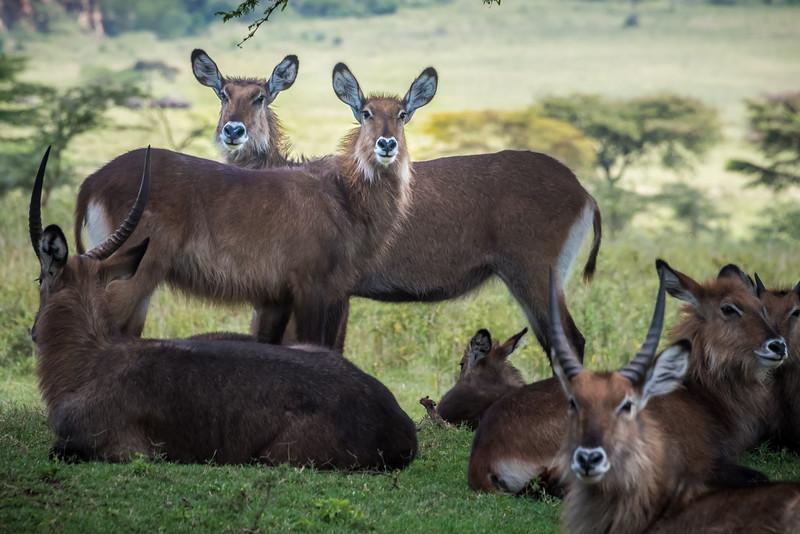 Water Buck, Lake Nakuru