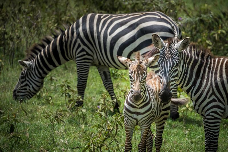 Zebra, Lake Nakuru