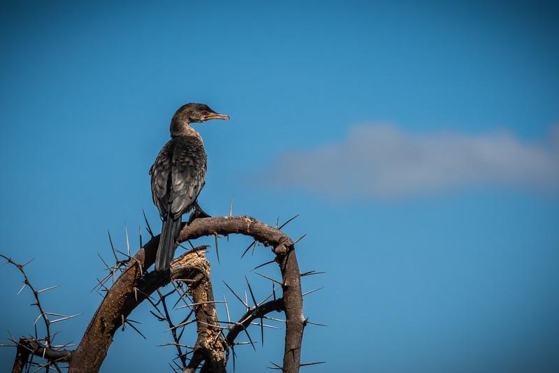 Long Tailed Cormorant, Lake Naivasha