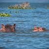 Hippos, Lake Naivasha, Kenya