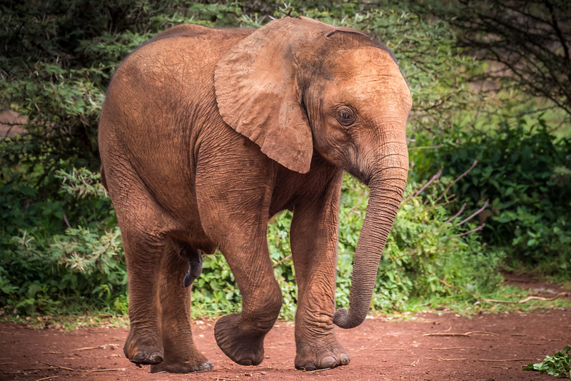 Sheldrick Center for Orphaned elephants, Nairobi Kenya