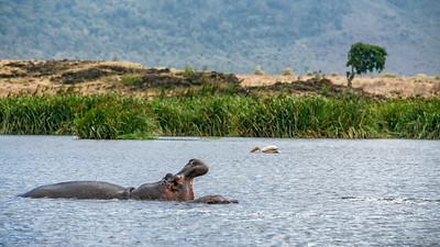 Hippo in the Ngorongoro crater, Tanzania