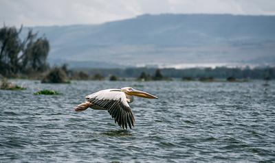 Great white pelican in flight, Lake Naivasha, Kenya