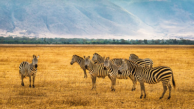 Herd of zebras in the Ngorongoro Crater