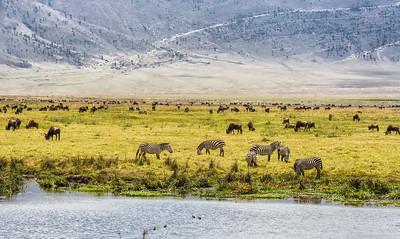 Herds of wildebeests and zebras