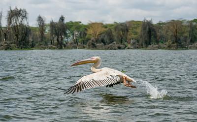 Great white pelican in flight at Lake Naivasha, Kenya