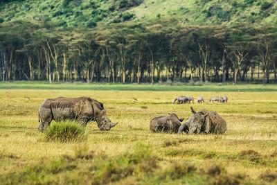 White rhinoceros in Lake Nakuru National Park, Kenya