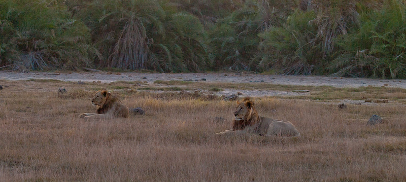Male lions at dusk.  It was really dark when I took this photo.