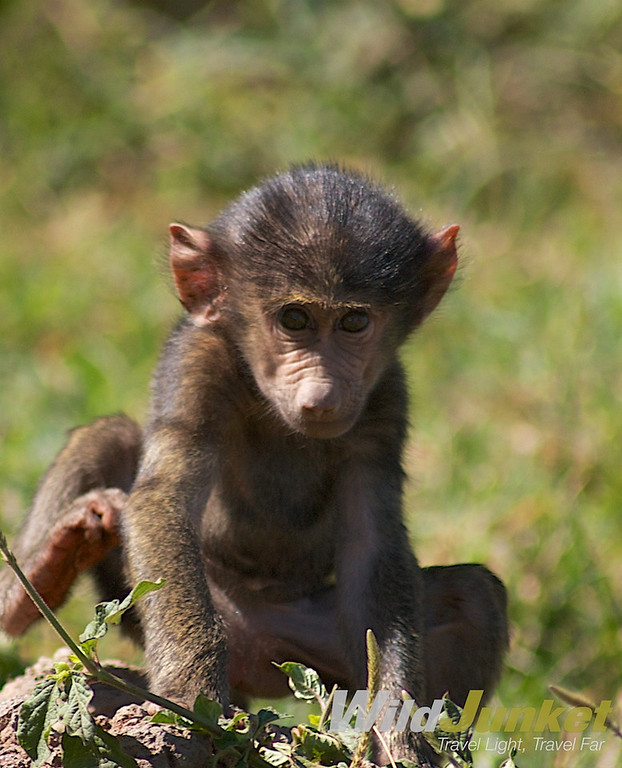 A baby baboon