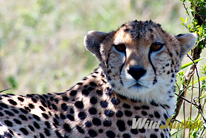 Cheetah spotted in Serengeti