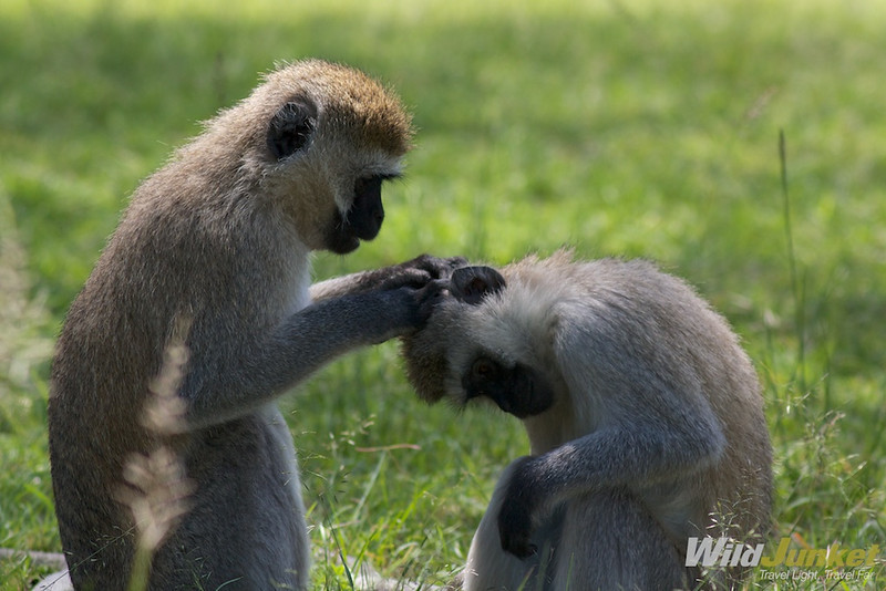 A pair of vervet monkeys goofing around