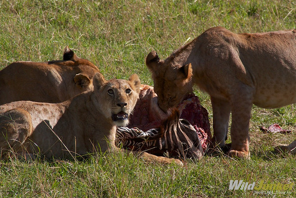 Lions feasting on a zebra