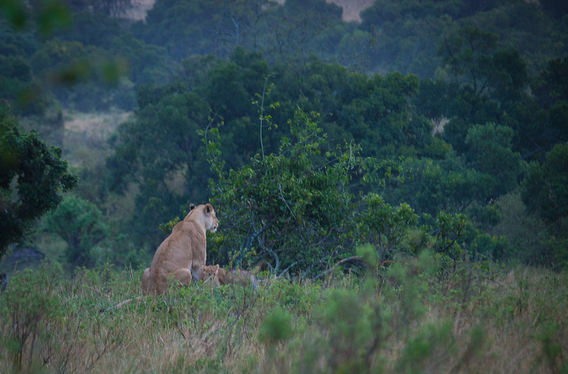 Lioness and her cubs at dusk.  It was nearly dark.