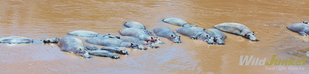 Hippos line up in the Mara River