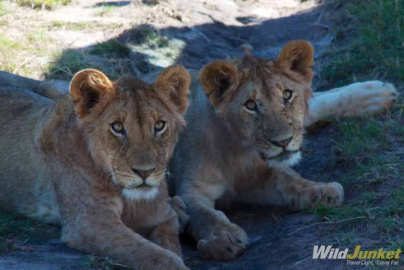 A pair of young lions in the shade
