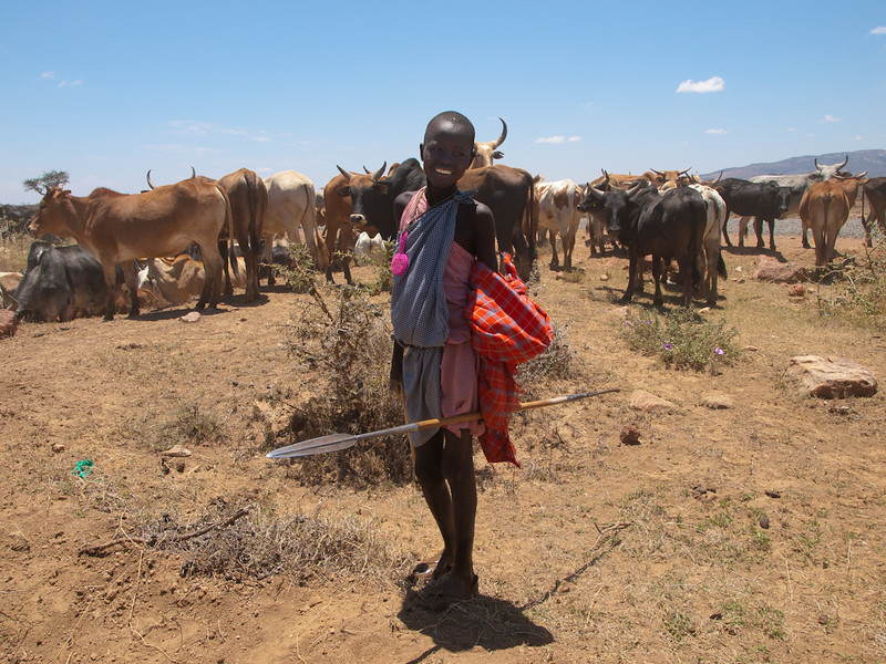 Young Masai boy herding cattle.  Yes, that is a real spear.