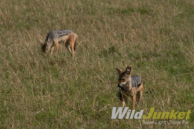 A pair of jackals waiting to scavange