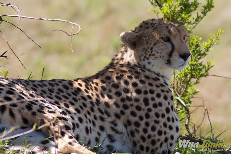 A cheetah lounging under the tree