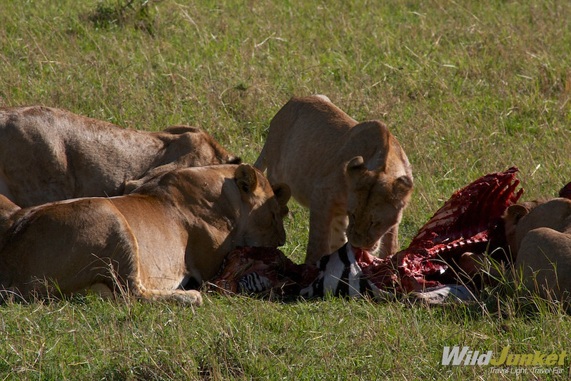 A group of young lions are feasting on a freshly caught zebra whose skin and flesh are clearly visible.