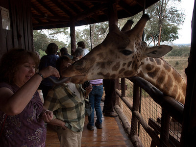 Robin and Bev feeding giraffes at the Nairobi Giraffe Centre.