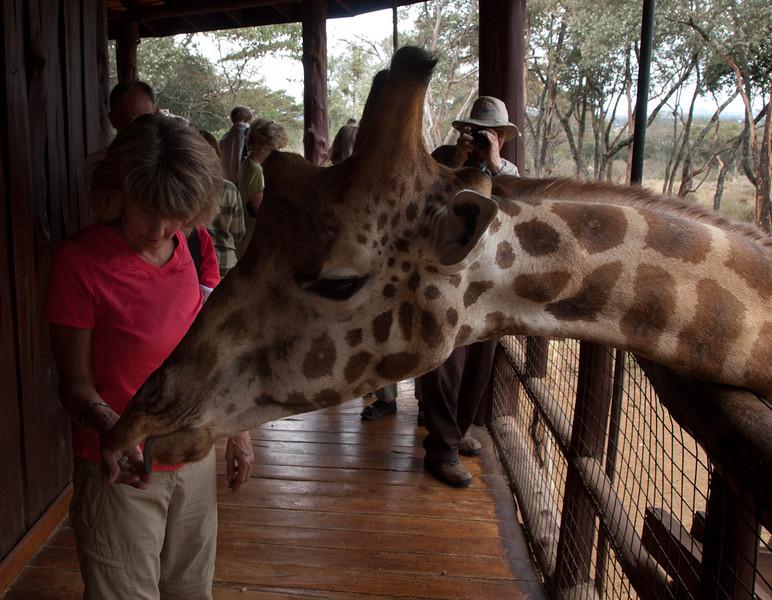 Barb feeding giraffes at the Nairobi Giraffe Centre.