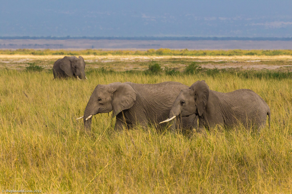 Elephants Kenya Amboseli
