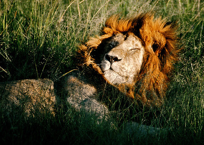 Lion basking in the sun