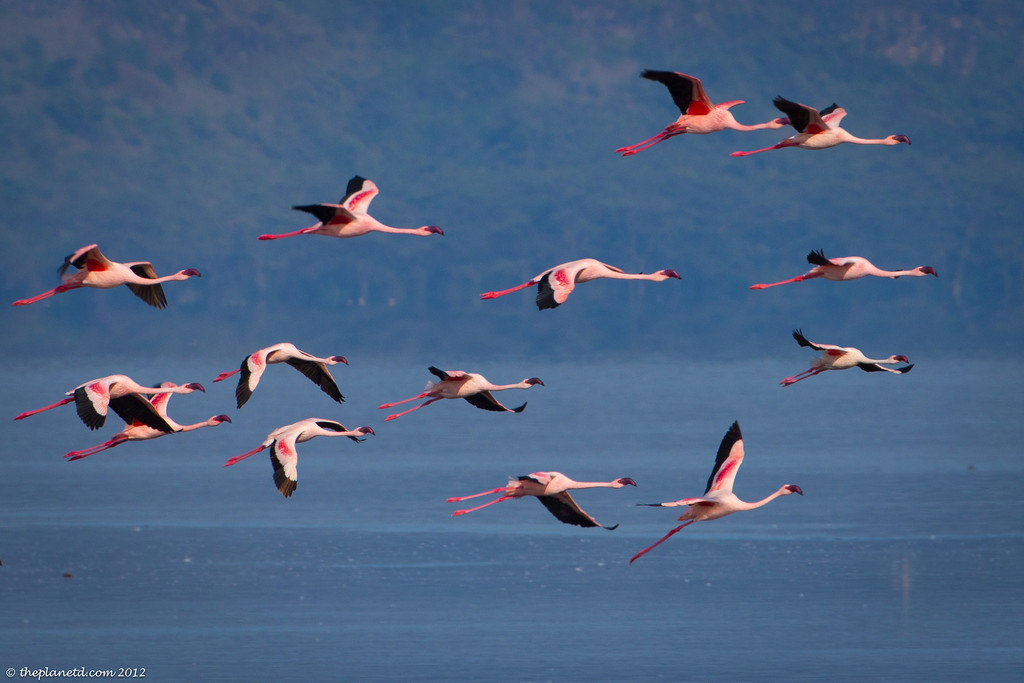 Flamingos flying in Kenya