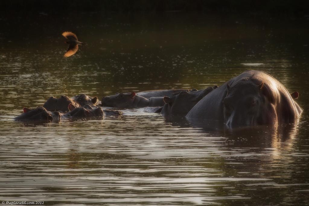 Hippos Bathe in Kenya