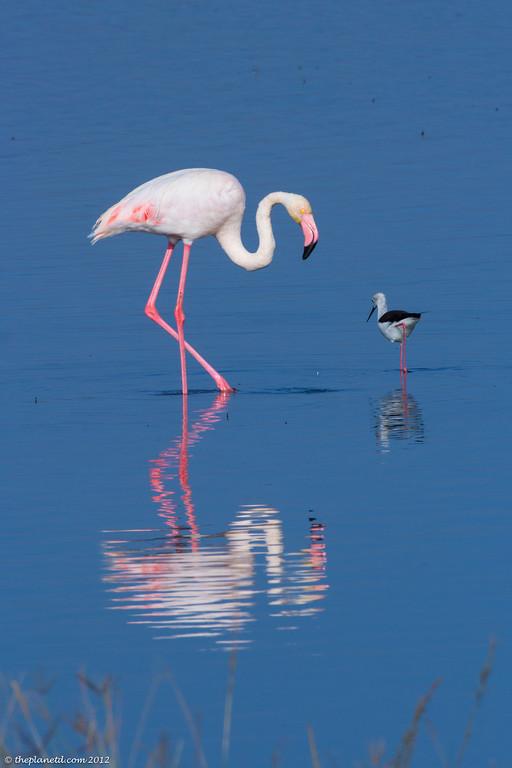 Pink Flamingo Kenya