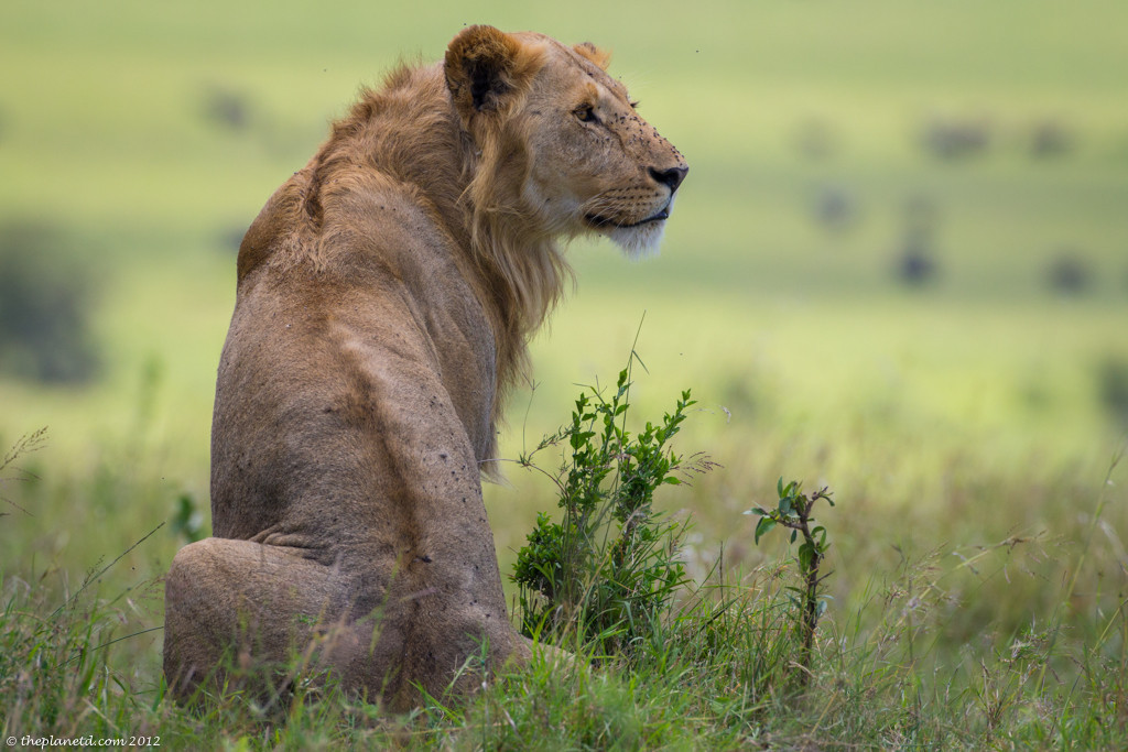 A young male lion surveys a herd of Buffalo on the Plains of the Masai Mara